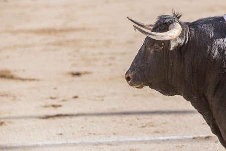 corrida de toros: Linares, ESPA�A - 28 de agosto de 2010: Captura de la figura de un toro bravo del color negro del cabello en una corrida de toros, Espa�a