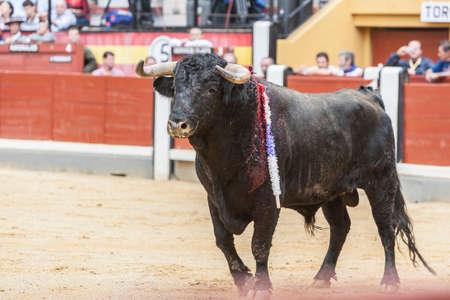 corrida de toros: Jaen, ESPA�A - 13 de octubre de 2008: Captura de la figura de un toro bravo del color negro del cabello en una corrida de toros, Espa�a