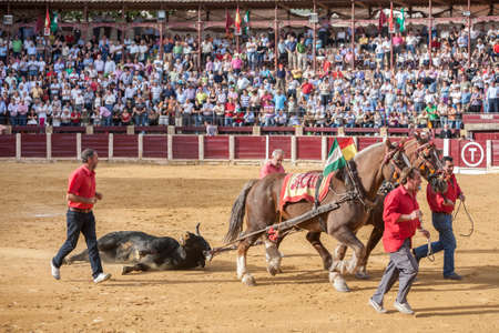 mules: Ubeda, Jaen province, SPAIN - 02 october 2010: Drag mules are Bull died in the Bullfight to the slaughterhouse of the bullring of Ubeda, Spain Editorial