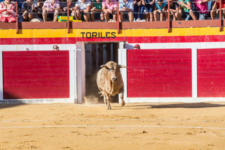 going out: Sabiote, Spain - August 23, 2014: Capture of the figure of a brave bull in a bullfight going out of bullpens, Sabiote, Spain
