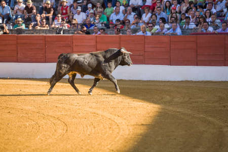 bullfight: Baeza, Spain - June 27, 2009: Capture of the figure of a brave bull in a bullfight, Spain Editorial