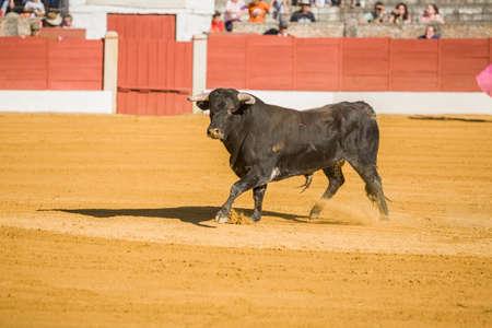 corrida de toros: La captura de la figura de un toro bravo en una corrida de toros, España