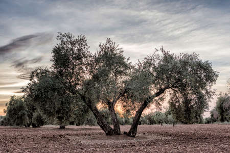 onsite: Olive tree from the picual variety near Jaen, Spain