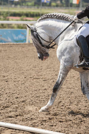 morphology: Spanish horse of pure race taking part during an exercise of equestrian morphology in Mijas, Andalusia, Spain