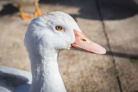 fowls: Domestic duck, domestic white ducks, naturally fed ducks