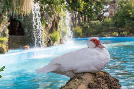Domestic duck, domestic white ducks, naturally fed ducks