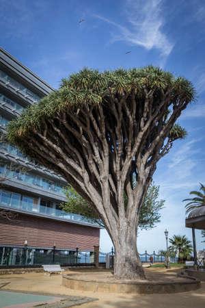 Old tree of variety Dracaena Draco in Genoves Park in Cadiz, Andalusia, Spain