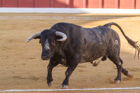 Bull about 650 Kg in the sand, Andujar, Spain