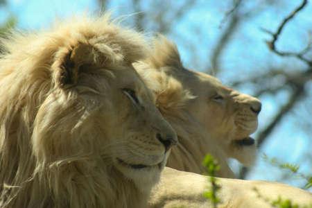 Lions Banco de Imagens