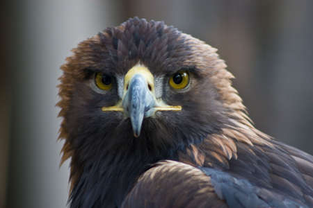 Golden eagel