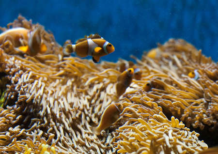 clown fish: Clown fish and their home Stock Photo