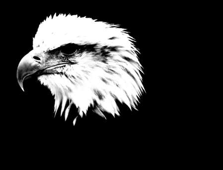 Eagle head with high contrast