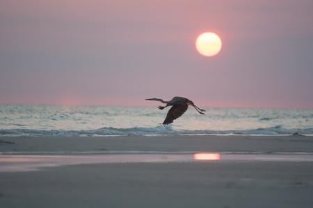 panama city beach: airone che vola al tramonto Archivio Fotografico