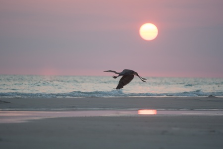 heron flying at sunset photo