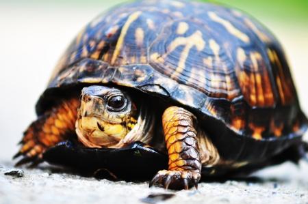 centenarian: spur-thighed turtle    Testudo graeca ibera