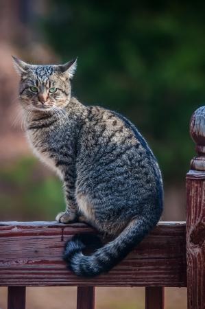 フェンスの上の灰色の猫猫は写真家を見つめています。