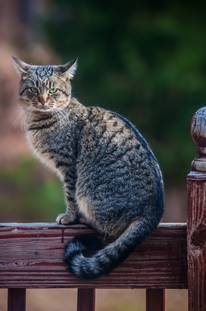 The gray cat on a fence, cat is staring at photographer.