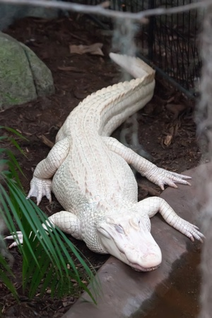 albino alligator - Alligator Farm photo