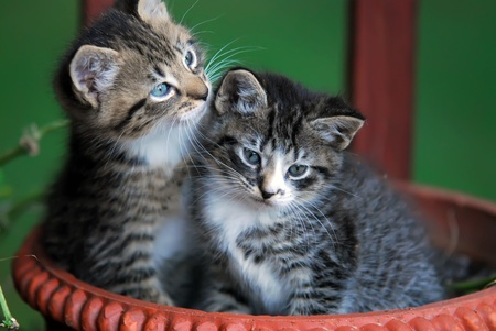 two cute kittens in basket photo