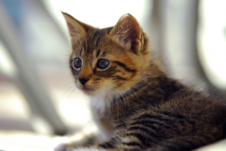 lop eared: cute and Curious striped  kitten Stock Photo