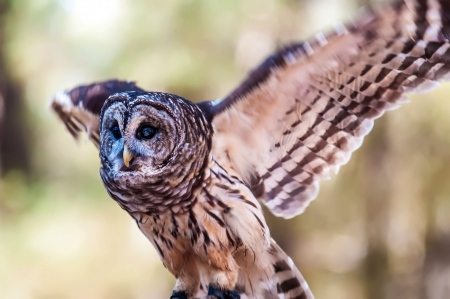 Owls are the order Strigiformes, constituting 200 extant bird of prey species. Most are solitary and nocturnal photo