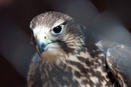 saker falcon recovering from injury in the cage photo
