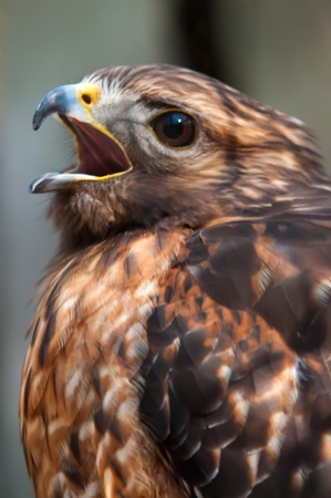 raptor: hawk falcon raptor bird