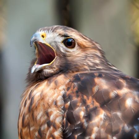 hawk falcon raptor bird photo