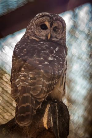 extant: Los b�hos son las Strigiformes de la orden, que constituyen m�s de 200 aves existentes presas son solitarios y nocturnos Foto de archivo