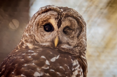 constituting: Owls are the order Strigiformes, constituting 200 extant bird of prey species  Most are solitary and nocturnal