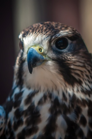 saker falcon recovering from injury in the cage