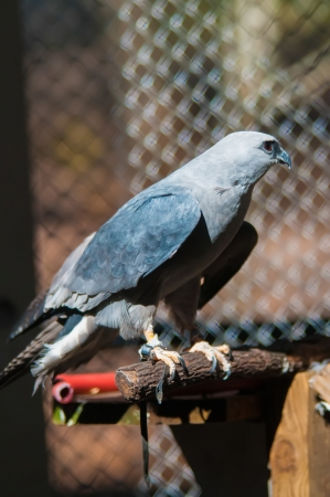 raptor: Mississippi Kite raptor bird Stock Photo