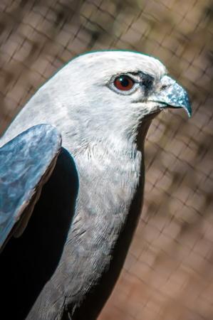 raptor: Mississippi Kite raptor bird Stock Photo
