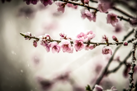 Pfirsichbl�te im Schnee Anfang Februar abgedeckt Lizenzfreie Bilder