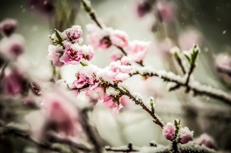 peach blossom covered in snow in early february photo