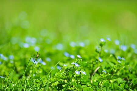 forget-me-not blue flowers into green grass with water drops on defocused background photo