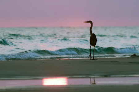 Silhouette of Blue Heron at the Beach at sunset photo