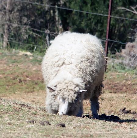 Pecore mangiare erba in fattoria Archivio Fotografico - 18728455