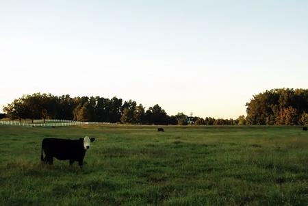 holsteine: cow and grass on farm field