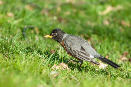 under ground: Robin bird on grassy lawn Stock Photo