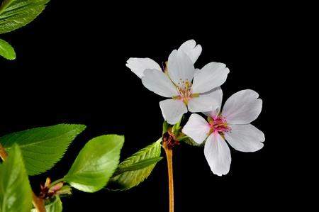 fruit tree flower on black background