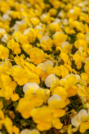 brilliantly: Texas Yellow Petunia Blooming Brilliantly in Spring