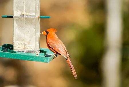 Cardinal Bird at Bird-Feeder - north carolina bird photo