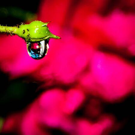 rose buds after rain with many rain drops Banco de Imagens