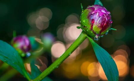 Close-up shot of a   Closed Peony flower with rain drops