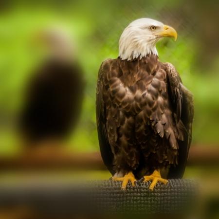 bald headed eagle portait closeup photo