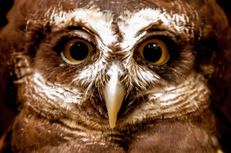 spectacled: Spectacled Owl  closeup portrait Stock Photo