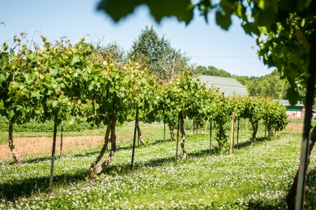 at the vineyard farm on a bright sunny day photo