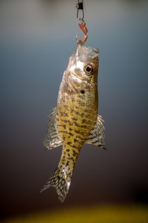 small bass fish on a hook photo