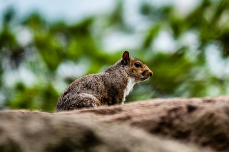 squirrel in the wilderness in the north carolina mountains photo